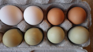 Eggs can come in different colors!